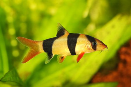 gettyimages loach